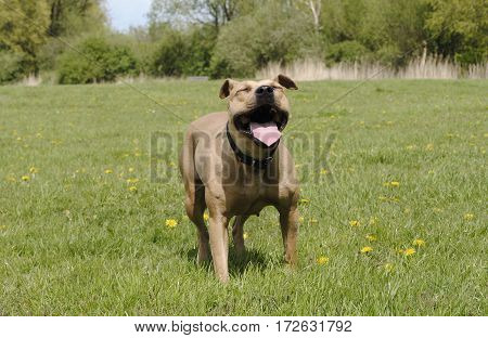 beautiful happy healthy playful dog panting while playing in park