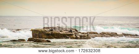 African Seals Panorama