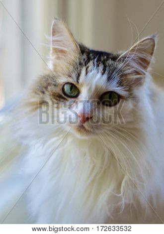 White long haired Angora cat with green eyes and pink nose in front of window
