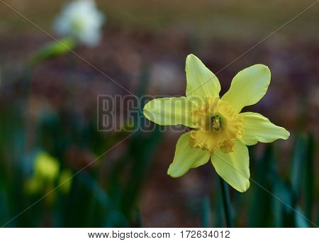 Single yellow daffodil, buttercup, jonquil in full bloom