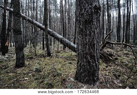 Deciduous forest trees in the winter in Poland