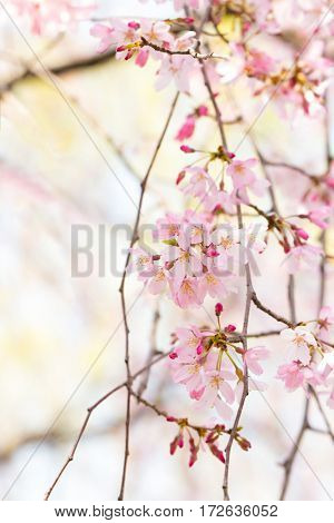 Beautiful spring cherry blossom with flower buds in bright shade. Early spring soft pastel color background. Extremely shallow depth of field for dreamy feel.