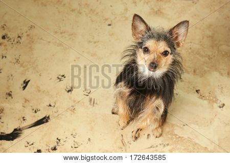 Cute little dog with dirty trails on the floor