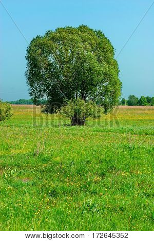 Lone Elm In The Meadow In The Summer Afternoon
