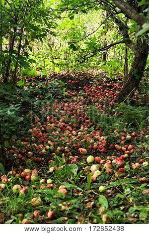 Many Fallen Ripe Apples Lying In The Garden