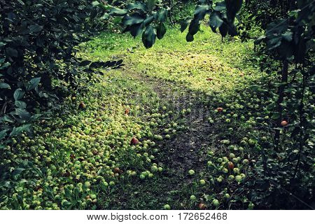 Lots Of Ripe Apples Fallen Along The Pathway