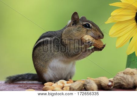 Adorable Eastern Chipmunk (Tamias Striatus) holding a peanut in mouth