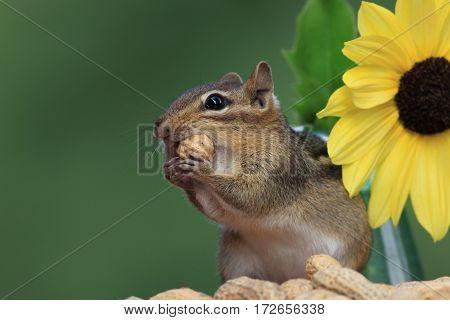 Adorable Eastern Chipmunk (Tamias Striatus) next to Lemon Sunflower holding peanut up to mouth