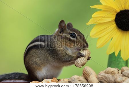 Adorable Eastern Chipmunk (Tamias Striatus) holding peanut next to Lemon Sunflower