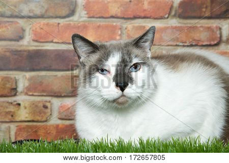 white and tabby cat laying in grass in front of a brick wall. Eye squinting with swelling and exudate infection