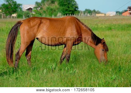 Brown horse grazing in field