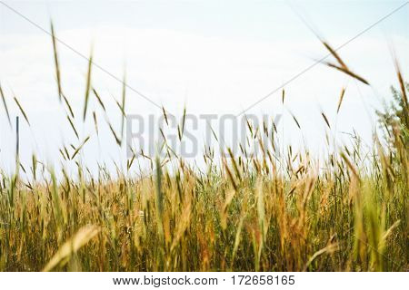 Meadow spikes on light sky background