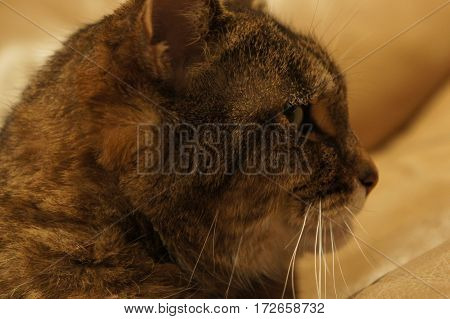 Close up of a brown tabby cat
