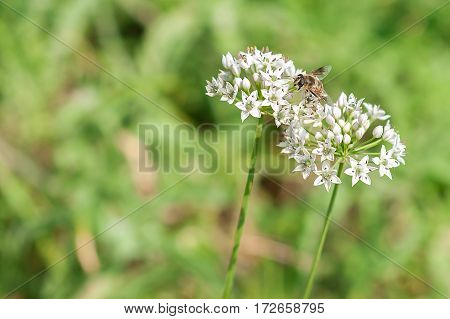 Bee Pollinate White Flowers