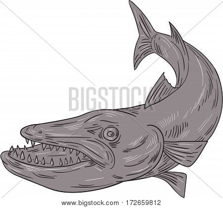 Drawing sketch style illustration of a barracuda a ray-finned saltwater fish of the genus Sphyraena the only genus in the family Sphyraenidae set on isolated white background.