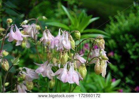 Beautiful Aquilegia Flower