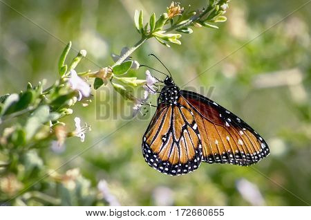 A queen butterfly hangs on to a flower on a desert bush with green background.