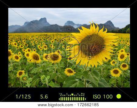 camera viewfinder with travel destination attraction. sunflower field Lopburi Thailand.
