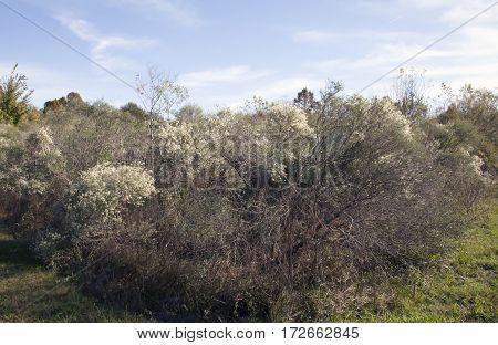 Woodland Bushes