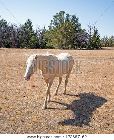 Wild Horse Palomino Mare on Tillett Ridge in the Pryor Mountain Wild Horse Range on the Wyoming Montana border - US