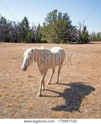 Wild Horse Palomino Mare on Tillett Ridge in the Pryor Mountain Wild Horse Range on the Wyoming Montana border - US