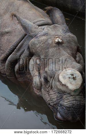Indian rhinoceros (Rhinoceros unicornis) with its horn cut off.