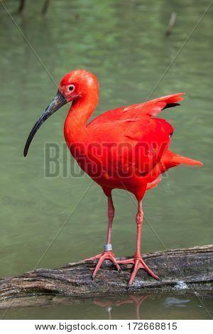 Scarlet ibis (Eudocimus ruber). Wildlife animal.