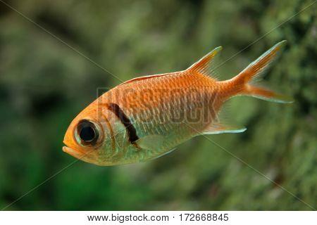 Doubletooth soldierfish (Myripristis hexagona). Marine fish.