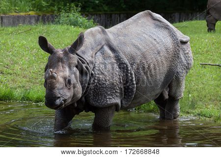 Indian rhinoceros (Rhinoceros unicornis). Wildlife animal.
