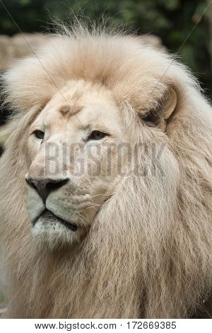 Male white lion. The white lion is a colour mutation of the Transvaal lion (Panthera leo krugeri), also known as the Southeast African or Kalahari lion.