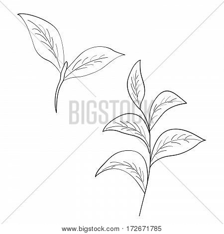 Green tea leaf illustration branch organic hand drawing sketch isolated on white background