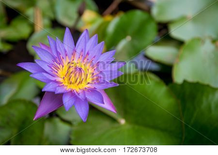 Blue lotus or Nymphaea caerulea on the pond