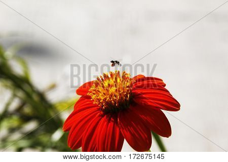a fully bloomed red orange flower with golden yellow crown