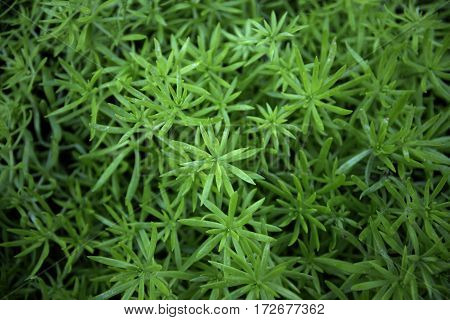 close up of greenery sedum flower, nature greenery background