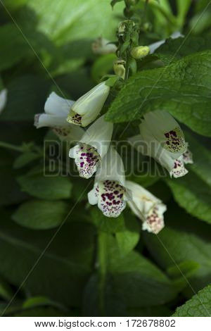 close up of foxglove flower blossom surrounded by green leaves selective focus soft focus