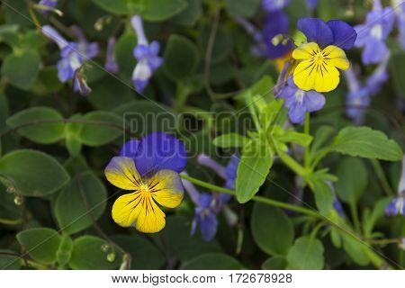 yellow and blue viola flower close up selective focus blurred floral background