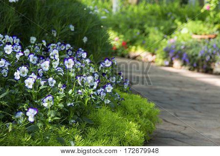 close up of floral border consisting of blue viola flowers and fresh green sedum alone the asphalt tile road selective focus blurred park on background
