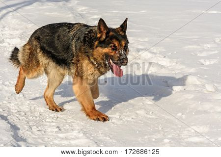 Shepherd going in the snow. The tongue is outside.