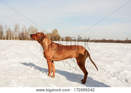 Rhodesian Ridgbac. Dog standing ih the snow.