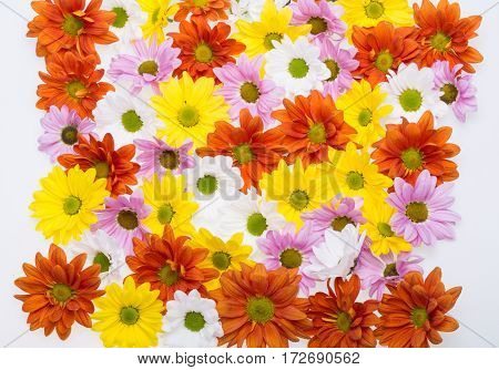 The background image of the colorful chrysanthemum flowers