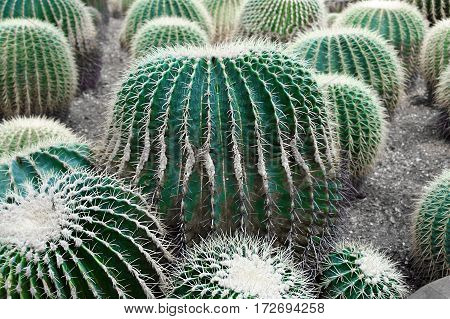 Large round cacti with long needles. Plant the hedgehog nature cactus of the South. Background of the Echinocactus gгusonii in abundance.