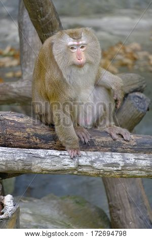 Northern Pig-tailed Macaque(Macaca leonina) in Chiang mai zooThailand