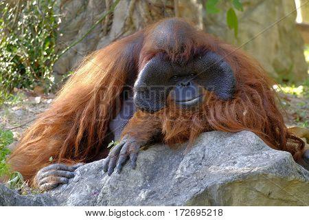 Close up orangutan in chiangmai zoo, Thailand.
