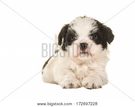 Black and white boomer puppy lying on the floor seen from the front isolated on a white background