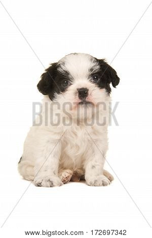 Cute black and white sitting boomer puppy seen from the front facing the camera isolated on a white background