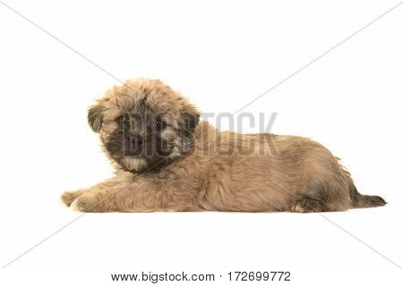 Cute brown boomer puppy lying on the floor facing the camera seen from the side isolated on a white background