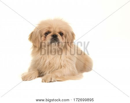 Blond adult tibetan spaniel dog seen from the side facing the camera isolated on a white background