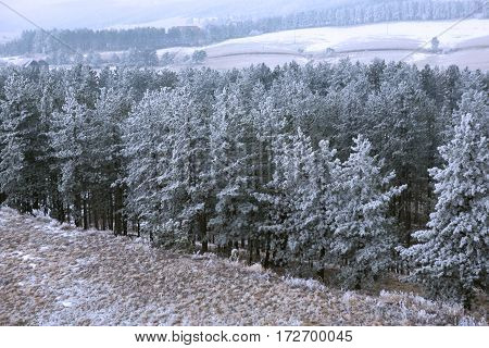 snowy fir trees in the mist at the morning mountains landscape