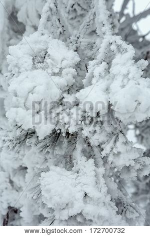Fir tree branches covered with snow background