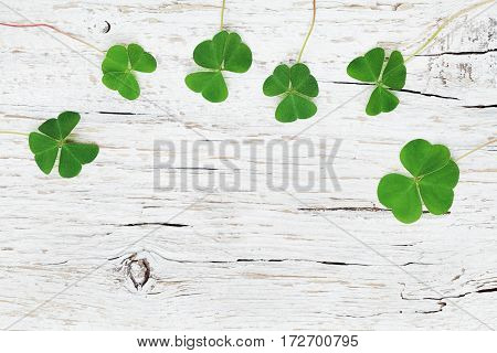 Saint Patricks Day background with green shamrock on white backdrop top view.